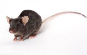 Pengusir tikus jakarta