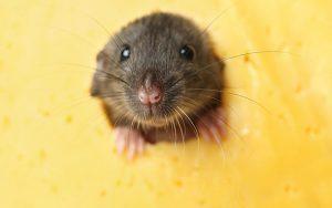 bau-tikus