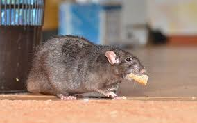 mengusir-tikus