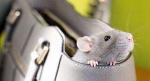 anti-tikus