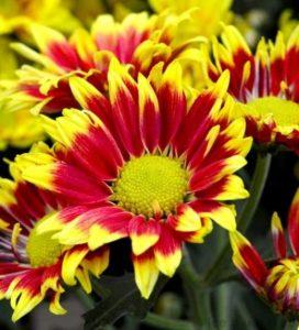 bunga-pengusir-nyamuk