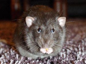 cara-membasmi-tikus