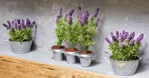 lavender-basmi-lalat